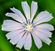 Wildflower Photos - Blue Chicory by Candice Trimble