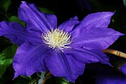 Amature Photography Framed Prints - Blue Clematis Framed Print by Bruce Bley