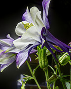 Jay Fries - Blue Columbine Closeup