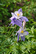 Sharon I Williams - Blue Columbine