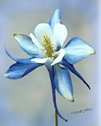 Michelle Mixed Media Posters - Blue Columbine Poster by Wishes and Whims Originals By Michelle Jensen