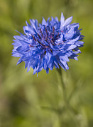 Coneflower Prints - Blue Cornflower Print by Tony Cordoza