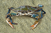 Sandi Oreilly Art - Blue Crab Confrontation by Sandi OReilly