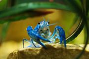 Marilyn Hunt - Blue crab