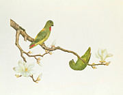 Blue Claws Posters - Blue Crowned Parakeet Hannging on a Magnolia Branch Poster by Chinese School