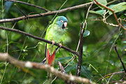 Parrot Metal Prints - Blue crowned Parakeet Metal Print by James Brunker