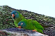 Quaker Parrot Prints - Blue-crowned Parakeet pair Print by Ira Runyan
