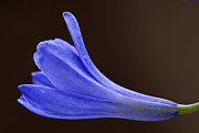 Blue Trumpet Flower Photos - Blue Curve by Trevor Chriss