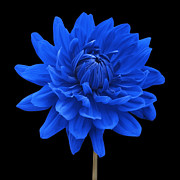 Striking Photography Digital Art Prints - Blue Dahlia Flower againgst Black Background Print by Natalie Kinnear