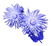 Blue And White Porcelain Prints - Blue Dahlia Print by Jane McIlroy