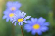 HJBH Photography - Blue daisies