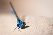Damsel Fly Photos - Blue Damsel by Jerri Moon Cantone