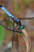 Dragonfly Photos - Blue Dasher 2 by J Scott Davidson