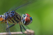 Bob Decker - Blue Dasher Close-Up