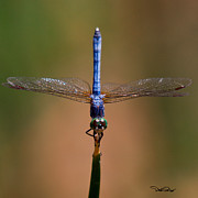 Dragonfly Photo Originals - Blue Dasher by David Salter