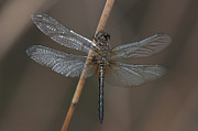Dragonflies Art - Blue Dasher Dragonfly by Clarence Holmes