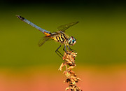 William Jobes - Blue Dasher Dragonfly