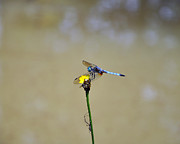 Blue Dragon Fly Posters - Blue Dasher Male Poster by Al Powell Photography USA