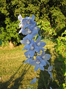 Everything Originals - Blue Delphinium In The Golden Hour by Elisabeth Ann