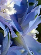 Blue Delphinium Framed Prints - Blue delphinium macro Framed Print by Renee Croushore