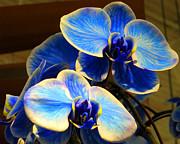 Blue Diamond Orchids Print by Patricia Januszkiewicz