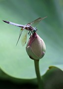 Dragonfly Macro Photos - Blue Dragonflies Love Lotus Buds by Sabrina L Ryan
