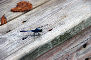 Insects Prints - Blue Dragonfly Print by Aimee L Maher