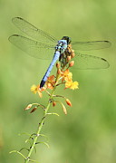 Blue Pond Prints - Blue Dragonfly on Yellow Flower Print by Carol Groenen