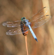 Blue And Brown Photos - Blue Dragonfly Square by Carol Groenen