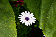 Asti Photos - Blue Eye Daisy by Ms Judi