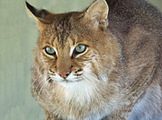 Bobcats Framed Prints - Blue Eyed Bobcat Framed Print by Jennifer  King