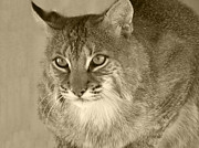 Bobcats Posters - Blue Eyed Bobcat-Sepia Poster by Jennifer  King