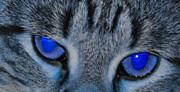 Daniel Ness - Blue Eyed Cat