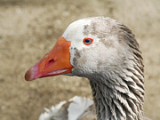 Blue-eyed Goose Print by Bob and Jan Shriner
