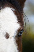 Horse Photography Prints - Blue Eyed One 2 - Horse Photos Print by Laria Saunders