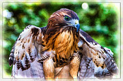 Canon 70-200 Framed Prints - Blue-eyed Red Tail Hawk Framed Print by John Haldane