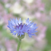 Garden Flowers Photos - Blue Fantasy by Kim Hojnacki