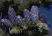 Pine Digital Art Framed Prints - Blue Fir Cones 2 outlined Framed Print by Sharon  Talson