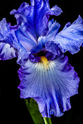 Flower Bulbs Prints - Blue Flag Print by Robert Bales