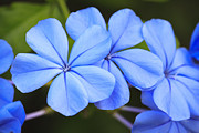 Blue Flax Print by Adam Romanowicz