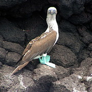 Martha Lyle - Blue Footed Booby