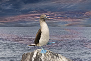 Brown Booby Prints - Blue Footed Booby Mating Dance in the Galapagos Print by Angela A Stanton