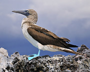 Boobies Metal Prints - Blue-footed Booby Metal Print by Tony Beck