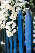 Cozy Posters - Blue garden fence with white flowers Poster by Elena Elisseeva