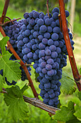 Fermentation Photos - Blue grapes by Patricia Hofmeester