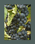Grape Leaves Posters - Blue Grapes Poster by Patricia Overmoyer