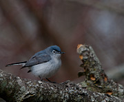 Dave Weth - Blue-gray Gnatcatcher