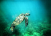 Green Sea Turtle Photos - Blue Green and Sea Turtle by Roch Hart