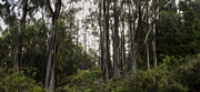 Brad Scott Prints - Blue Gum Eucalyptus Forest Print by Brad Scott