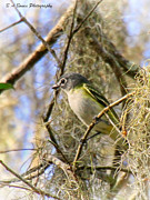 Nature Photography Prints - Blue-headed Vireo Print by Barbara Bowen
